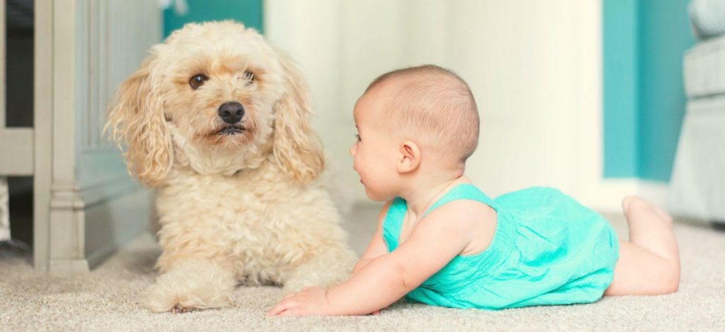 Bichon Frise Good With Kids - toddlers