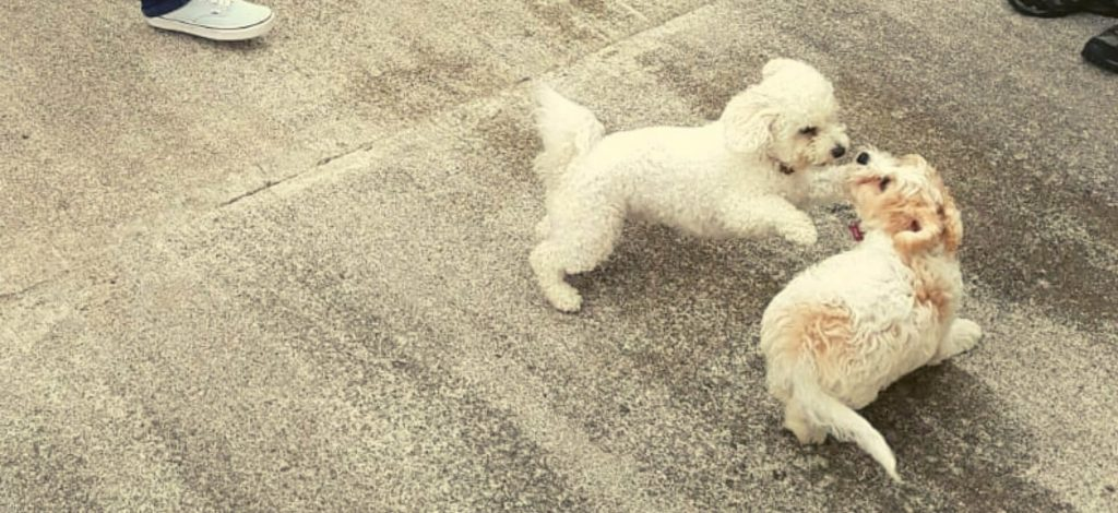 Bichon Frise Good With Kids - start training from a puppy