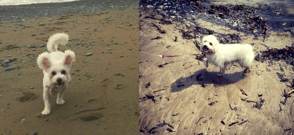 Bring Your Bichon Frise To The Beach