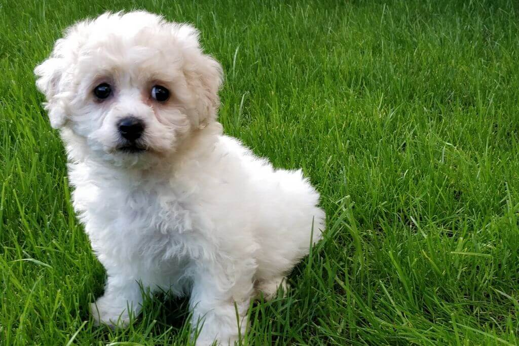 Are Bichon Frises Easy To Train