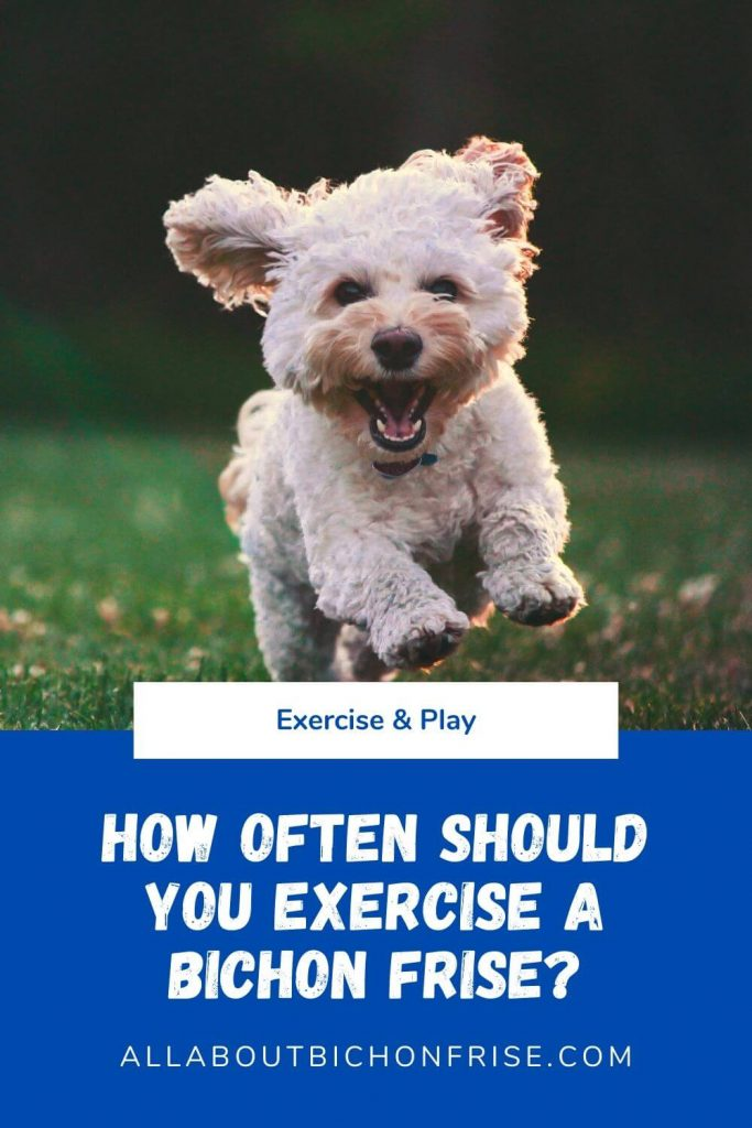 Exercise a Bichon Frise - Pin