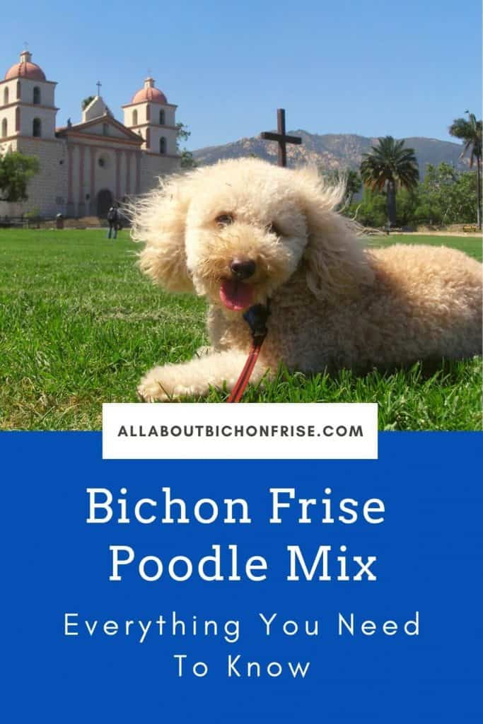 Bichon Frise Poodle Mix - Pin
