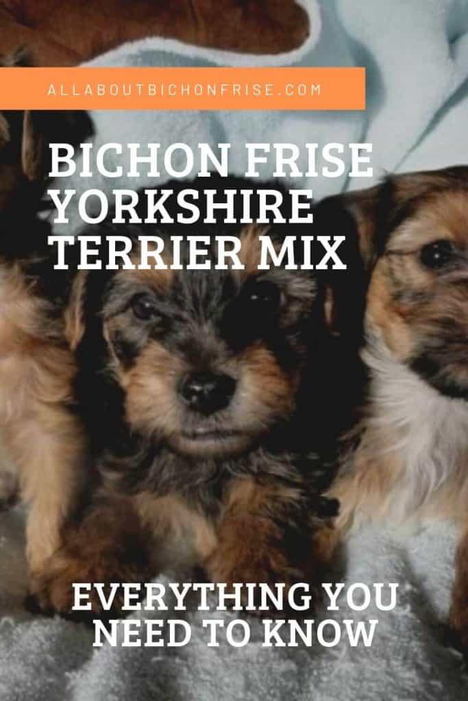 Bichon Frise Yorkshire Terrier Mix - Pin