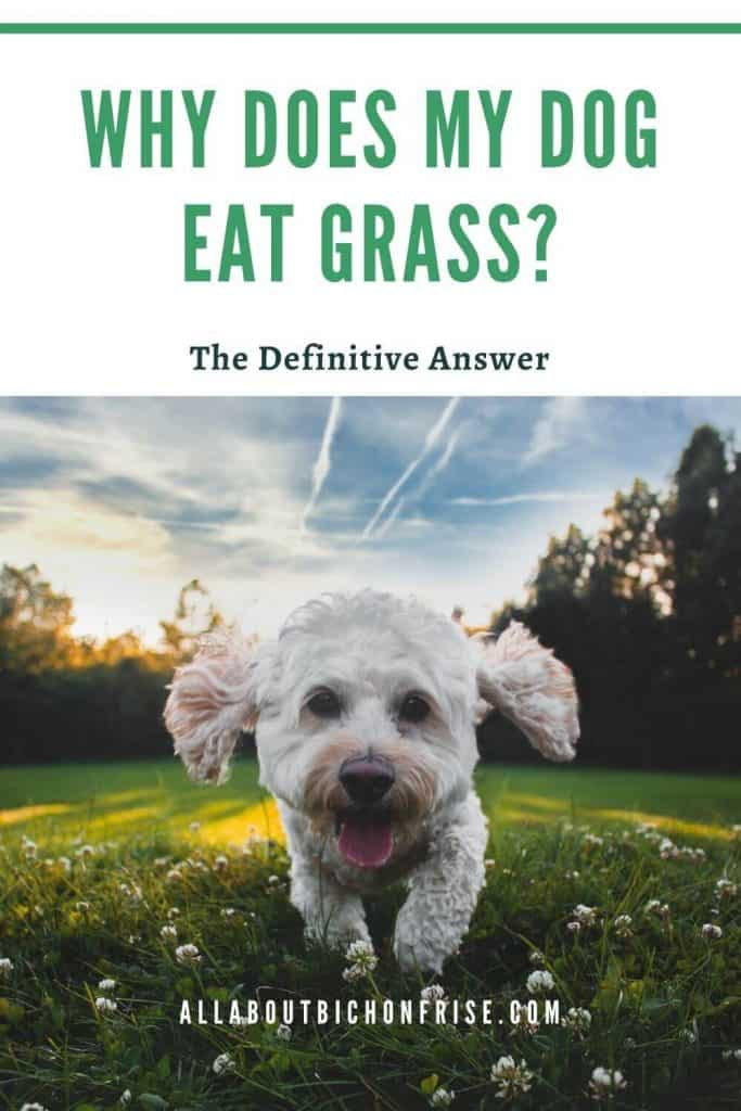 Why does my dog eat grass? - Pin