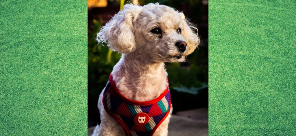 Dog Harnesses For A Bichon Frise - Cover_Image